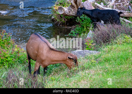 Goats being used to control weeds along a river bank in Hobart Tasmania - Stock Image