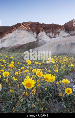 Desert sunflower aka desert gold (Gerea canescens) in bloom at Death Valley National Park California USA - Stock Image