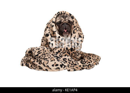 cute pug puppy dog sitting down, rolled up in fuzzy blanket, coughing, having a cold, isolated on white background - Stock Image