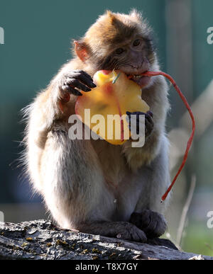 A macaque with a fruit filled ice block at Blair Drummond Safari Park near Stirling after staff put it in the enclosure as the hot weather continues. - Stock Image