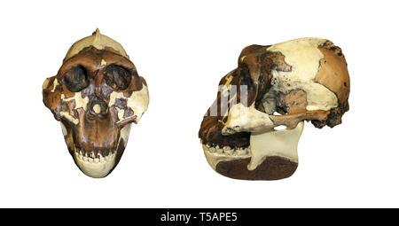 Nutcracker Man Paranthropus boisei (Australopithecus boisei) - Stock Image