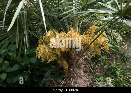 Flower panicles on a hardy fan palm : Trachycarpus Fortunei - Chusan Palm - Stock Image