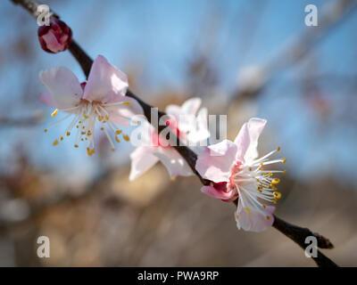 Pink spring flowers in Dolat Abad garden, Yazd, Iran - Stock Image
