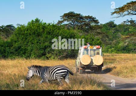 Safari Vehicle with Tourist on a Game Drive, Zebra running past and 4X4 Safari Vehicle - Stock Image