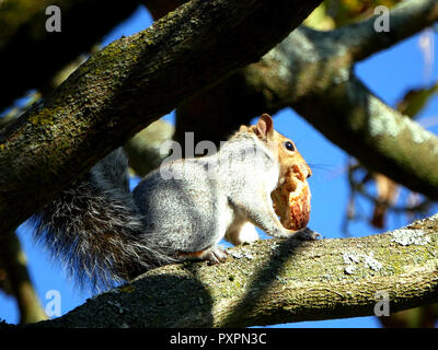 Grey Squirrel- Sciurus carolinensis, up a tree in Fulham Palace eating a healthy piece of brown bread - Stock Image