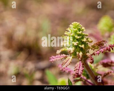 Wood betony (Pedicularis canadensis) a hemiparasitic plant. - Stock Image