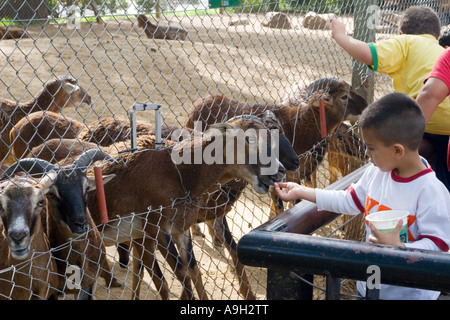 A young boy feeding goats at the Zoo - Stock Image