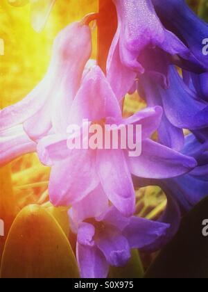 Purple hyacinth flowers - Stock Image