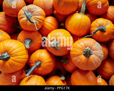 Pumpkins fresh from harvest showing their orange autumn or fall color in a pile for sale at Peach Park Farms, Clanton Aalabama, USA. - Stock Image