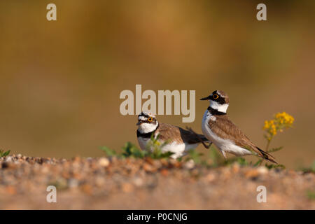 Little ringed plovers (Charadrius dubius), courtshiping animal couple, Middle Elbe Biosphere Reserve, Dessau-Roßlau - Stock Image