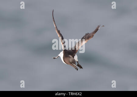 Detailed, close-up front view of a wild, British razorbill seabird (Alca torda) isolated in mid-flight with sea background, Bempton UK. - Stock Image