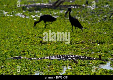 NILE CROCODILE ( Crocodylus niloticus ) Selous National Park Tanzania - Stock Image