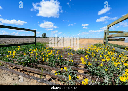 Yellow wildflowers growing over a cattle grid seen along the Carnarvon Highway, Queensland Interior, QLD, Australia - Stock Image