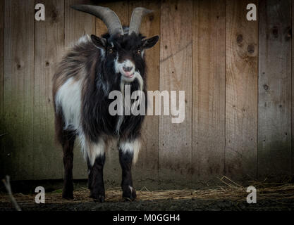 Crazy Goat with horns - Stock Image