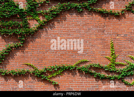 Green Ivy On Side Of Red Brick House - Stock Image