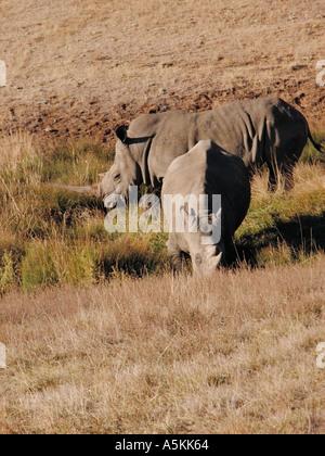 Southern White Rhino Photographed at the Wildlife Safari in Winston Oregon USA 2004 - Stock Image