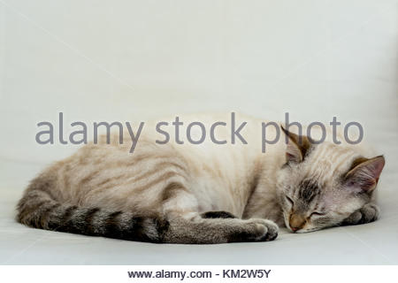 Common female cat resting on the bed after a long working day doing nothing, jeje!! - Stock Image