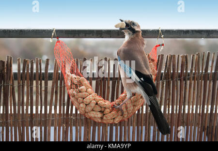 Garrulus glandarius, Eurasian Jay eating shell peanuts from feeding net - Stock Image