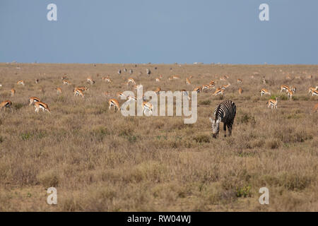A Plains Zebra  (Eqqus burchellii) among a herd of Impalas (Aepyceros melampus) on the plains of Ndutu in Tanzania - Stock Image