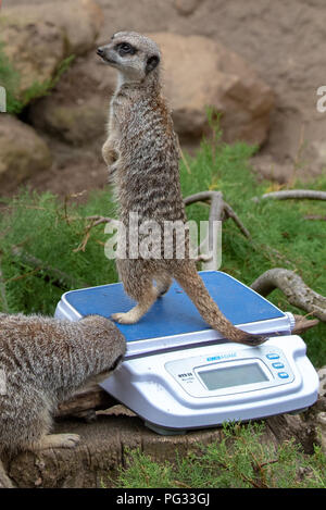 London, United Kingdom. 23 August 2018. Annual weigh-in records animals' vital statistics at ZSL London Zoo. PICTURED: Meerkat Credit: Peter Manning/Alamy Live News - Stock Image