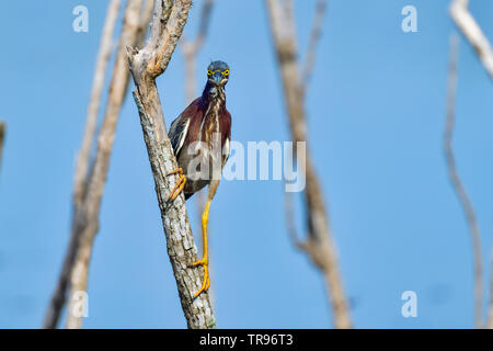 Green Heron is giving all it's attention to the photographer. - Stock Image