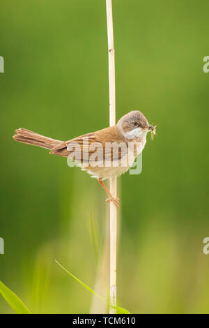 Closeup of a Whitethroat bird, Sylvia communis, foraging in a green meadow - Stock Image
