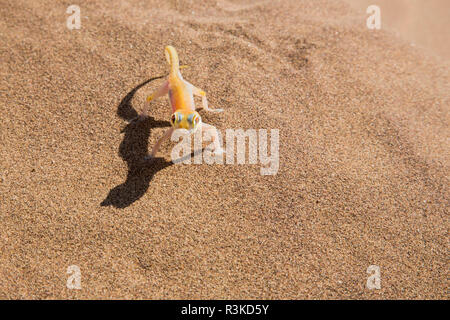 Africa, Namibia, Namib Desert. Palmetto gecko on sand. Credit as: Wendy Kaveney / Jaynes Gallery / DanitaDelimont.com - Stock Image