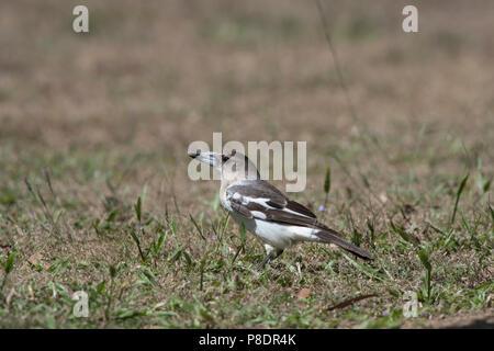 Juvenile Pied Butcherbird (Cracticus nigrogularis), Cape York Peninsula, Far North Queensland, FNQ, Australia - Stock Image