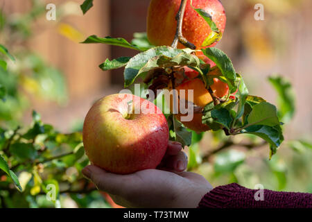 Harvesting apples in garden, autumn harvest season in fruit orchards, woman hand with apple - Stock Image