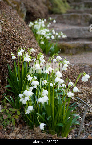 detailed image of clumps of Amaryllidaceae Leucojum vernum in a damp rockery garden - Stock Image