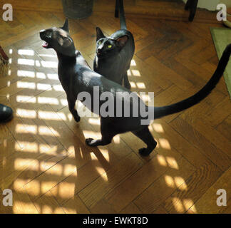 Black Oriental Siamese Kittens - one year old - on a sunny day on a parquet floor, meowing for food. - Stock Image