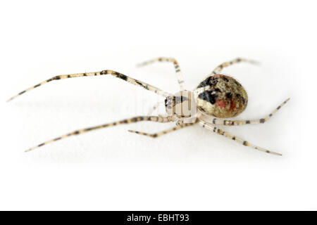 A female comb-footed spider (Keijia tincta) on a white background. Part of  Theridiidae family, are also called - Stock Image
