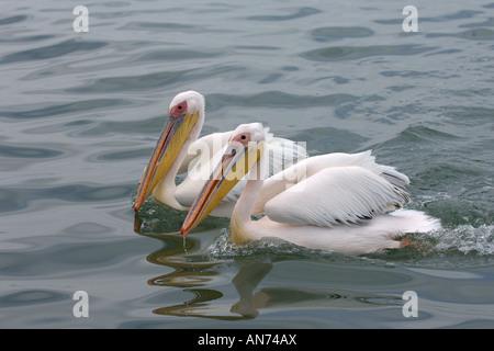 Great white pelican Pelecanus onocrotalus adults swimming Walvis Bay Namibia November - Stock Image