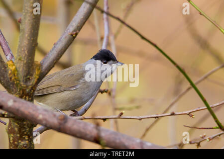 Detailed, close-up side view of wild, British, male blackcap warbler bird (Sylvia atricapilla) isolated in natural outdoor UK woodland habitat perched. - Stock Image