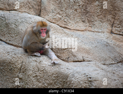 Japanese Macaque (Macaca fuscata) - Stock Image