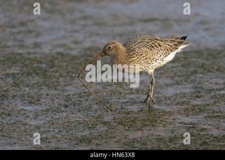 Eurasian curlew (Numenius arquata) feeding on ragworm on intertidal mudflats. Norfolk, England. November. - Stock Image