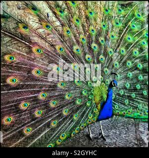 The spectacular display of a peacock's feathers as he tries to attract the attention of a mate. The eyespots in the feathers are of particular interest. Photo Credit - © COLIN HOSKINS. - Stock Image