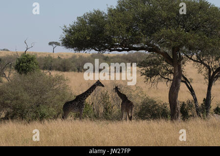 Masai Giraffe (Giraffa Camelopardalis tippelskirchi) mother and child on the savannah - Stock Image