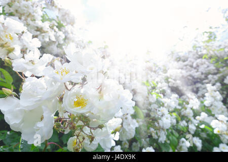 Lots of white flower heads of a rambling rose on a sunny summer day shot against the light, text or copy space, - Stock Image