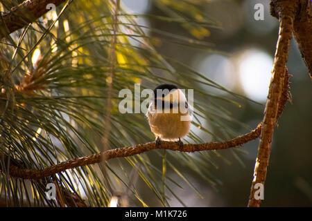 Black Capped Chickadee - Stock Image