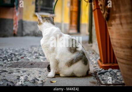 A gray and white stray cat sits in a cobblestone alley in the colorful village of Monterosso al Mare, Cinque Terre - Stock Image