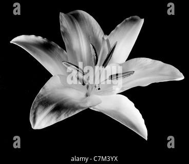 Stargazer Lilly - Stock Image