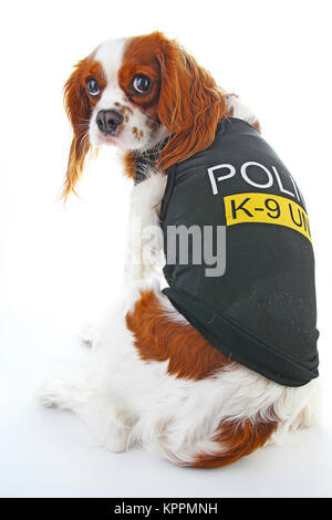 Police dog. Cute K9 cavalier king charles spaniel pet photo. Police dog on isolated white background. Cute. - Stock Image