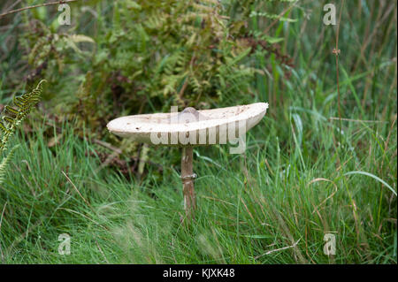 Parasol Mushroom (Macrolepiota procera) Richmond Park, London, United Kingdom, British Isles - Stock Image