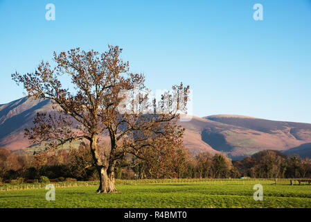 Lone tree in the Cumbrian countryside England UK - Stock Image