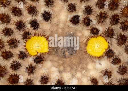 Circular flowers of a spherical cactus plant - Stock Image