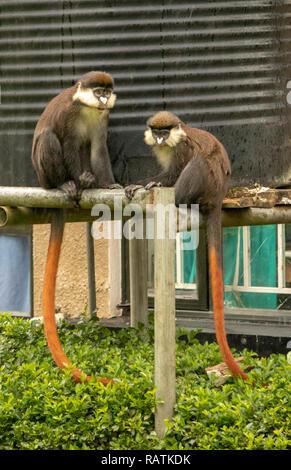 The red-tailed monkey, or black-cheeked white-nosed monkey, red-tailed guenon, or Schmidt's guenon (Cercopithecus ascanius), Bwindi Community Hospital - Stock Image