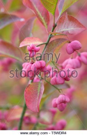 Euonymus hamiltonianus 'Pink Delight'. - Stock Image