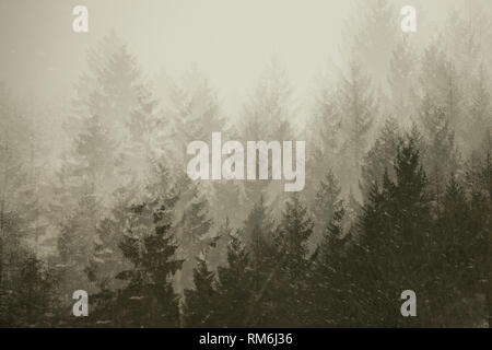 Multiple exposure of  firs tree tops in coniferous forest in the mist. Adamello park, Passo del Tonale, Italy. Vintage, nostalgic look - Stock Image