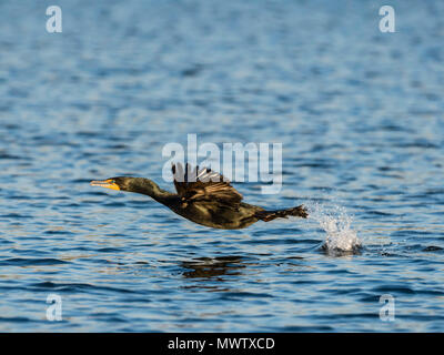 Adult double-crested cormorant (Phalacrocorax auritus) in flight on the Homosassa River, Florida, United States of America, North America - Stock Image